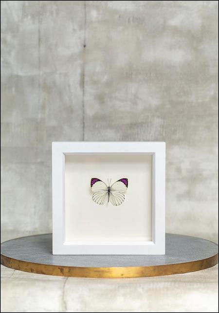 Bugs Under Glass Framed Purple Tip Butterfly