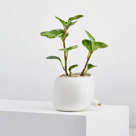 Angus & Celeste Spouted Planter - White