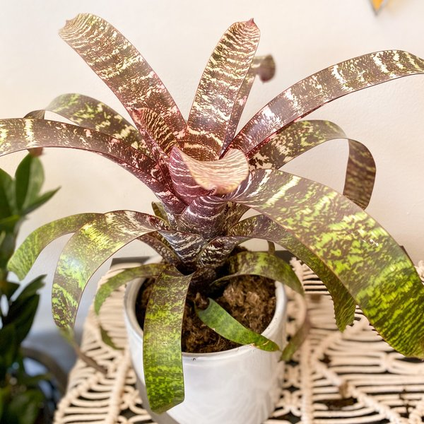 "Vriesea Fosteriana 6"""